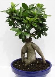 bonsai japon ağacı saksı çiçeği  Ankara Anadolu çiçek servisi , çiçekçi adresleri
