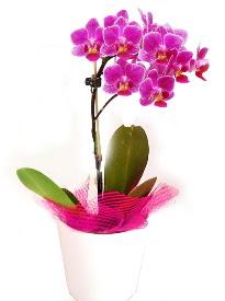 Tek dallı mor orkide  Ankara Anadolu çiçekçi telefonları