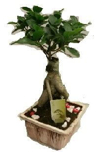 Japon ağacı bonsai seramik saksı  Ankara Anadolu çiçek mağazası , çiçekçi adresleri
