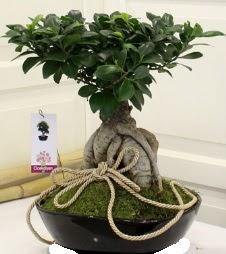 Japon ağacı bonsai satışı  Ankara Anadolu çiçek servisi , çiçekçi adresleri