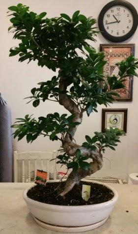 100 cm yüksekliğinde dev bonsai japon ağacı  Ankara Anadolu Anadolu İnternetten çiçek siparişi