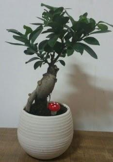 Bonsai japon ağacı saksı çiçeği  Ankara Anadolu çiçek gönderme sitemiz güvenlidir