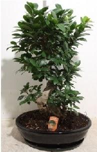 75 CM Ginseng bonsai Japon ağacı  Ankara Anadolu hediye çiçek yolla