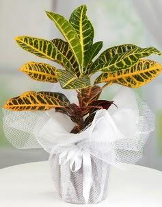 Orta boy kraton saksı bitkisi  Ankara Anadolu çiçek servisi , çiçekçi adresleri