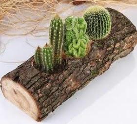 Doğal ağaç 4 adet kaktüs tanzimi  Ankara Anadolu çiçekçi telefonları