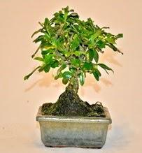 Zelco bonsai saksı bitkisi  Ankara Anadolu çiçek servisi , çiçekçi adresleri