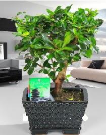 Bonsai japon ağacı saksı bitkisi  Ankara Anadolu çiçek satışı