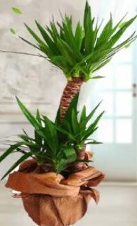 2 li yucca saksı çiçek bitkisi  Ankara Anadolu çiçek siparişi sitesi