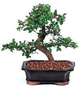 İthal bonsai japon ağacı  Ankara Anadolu çiçek siparişi sitesi