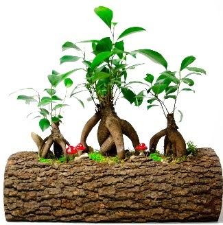 Doğal kütük içinde 3 Bonsai Japon ağacı  Ankara Anadolu internetten çiçek satışı