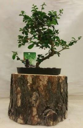 Doğal kütük içinde bonsai japon ağacı  Ankara Anadolu Anadolu İnternetten çiçek siparişi