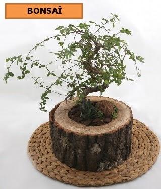 Doğal ağaç kütük içerisinde bonsai bitkisi  Ankara Anadolu çiçek gönderme sitemiz güvenlidir