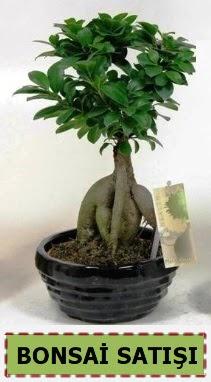 Bonsai japon ağacı ginseng bonsai  Ankara Anadolu çiçek mağazası , çiçekçi adresleri