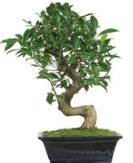 Bonsai saksı bitkisi japon ağacı  Ankara Anadolu çiçek siparişi vermek