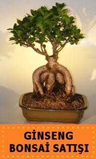 Ginseng bonsai satışı japon ağacı  Ankara Anadolu cicek , cicekci