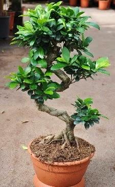 Orta boy bonsai saksı bitkisi  Ankara Anadolu internetten çiçek siparişi