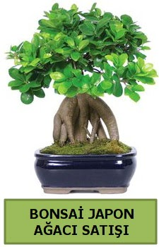 Bonsai japon ağacı satışı  Ankara Anadolu çiçek satışı