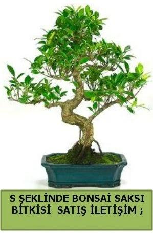 İthal S şeklinde dal eğriliği bonsai satışı  Ankara Anadolu çiçek gönderme
