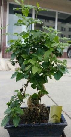 Bonsai japon ağacı saksı bitkisi  Ankara Anadolu çiçek siparişi vermek