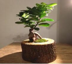 Doğal kütükte Bonsai japon ağacı satışı  Ankara Anadolu internetten çiçek satışı