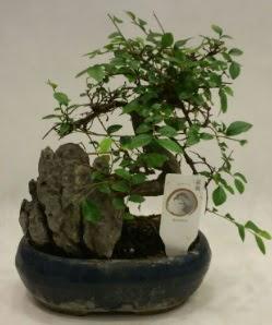 İthal 1.ci kalite bonsai japon ağacı  Ankara Anadolu çiçek satışı