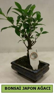 Bonsai japon ağacı saksı bitkisi  Ankara Anadolu çiçek servisi , çiçekçi adresleri
