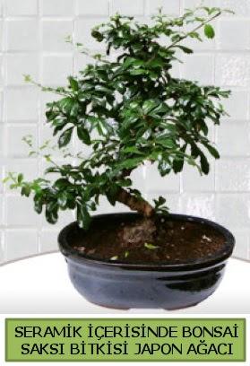 Seramik vazoda bonsai japon ağacı bitkisi  Ankara Anadolu çiçek siparişi sitesi