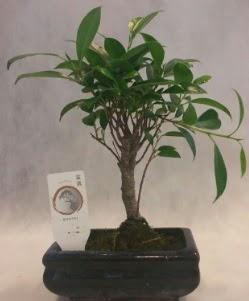 Bonsai japon ağacı bitkisi satışı  Ankara Anadolu çiçek gönderme sitemiz güvenlidir