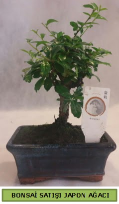 Minyatür bonsai ağacı satışı  Ankara Anadolu çiçek gönderme