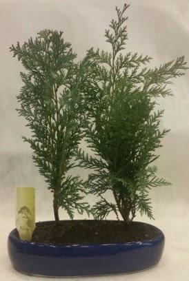 SINIRLI SAYIDA Selvi Ağacı bonsai ikili  Ankara Anadolu çiçekçi telefonları