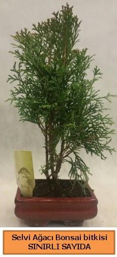 Selvi ağacı bonsai japon ağacı bitkisi  Ankara Anadolu çiçek satışı