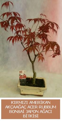 Amerikan akçaağaç Acer Rubrum bonsai  Ankara Anadolu uluslararası çiçek gönderme