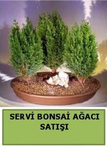 BONSAİ 3 LÜ SERVİ BONSAİ AĞACI  Ankara Anadolu çiçekçi telefonları