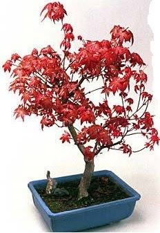 Amerikan akçaağaç bonsai bitkisi  Ankara Anadolu çiçek yolla