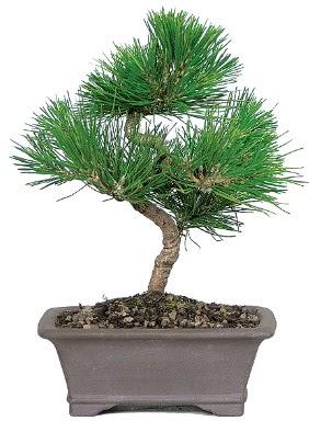 Çam ağacı bonsai japon ağacı bitkisi  Ankara Anadolu çiçek gönderme