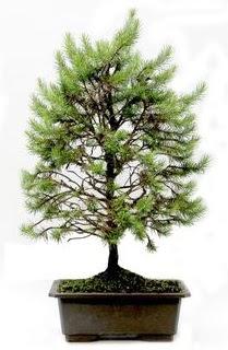 *** STOKTA YOK - Çam ağacı bonsai bitkisi satışı  Ankara Anadolu cicekciler , cicek siparisi