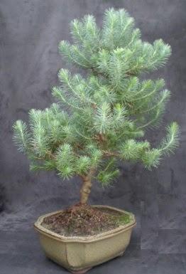 Bonsai çam ağacı japon ağacı bitkisi  Ankara Anadolu çiçek gönderme sitemiz güvenlidir