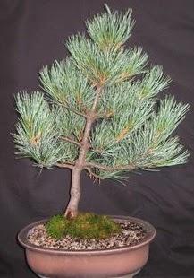 Bonsai çam ağacı japon ağacı bitkisi  Ankara Anadolu çiçek siparişi sitesi