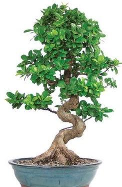 Yaklaşık 70 cm yüksekliğinde ithal bonsai  Ankara Anadolu çiçekçi telefonları