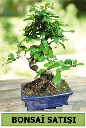 Çam bonsai japon ağacı satışı  Ankara Anadolu çiçek satışı