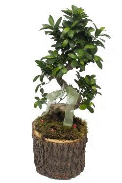 Doğal kütükte bonsai saksı bitkisi  Ankara Anadolu Anadolu İnternetten çiçek siparişi
