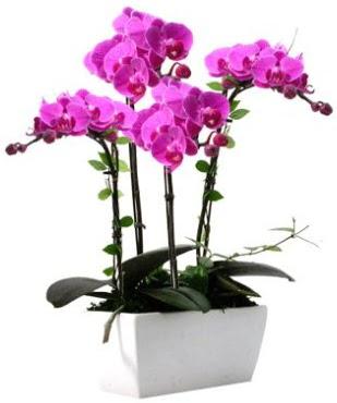 Seramik vazo içerisinde 4 dallı mor orkide  Ankara Anadolu çiçek satışı