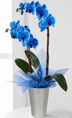 Seramik vazo içerisinde 2 dallı mavi orkide  Ankara Anadolu çiçek , çiçekçi , çiçekçilik
