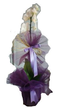 Tek dallı beyaz orkide süper kalite ithal  Ankara Anadolu çiçek siparişi sitesi