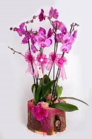 4 dallı kütük içerisibde mor orkide  Ankara Anadolu çiçek satışı