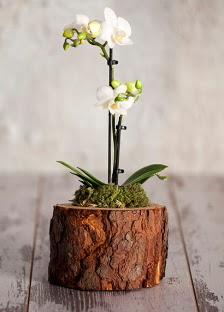 Doğal kütük 2 dallı beyaz orkide  Ankara Anadolu çiçek yolla