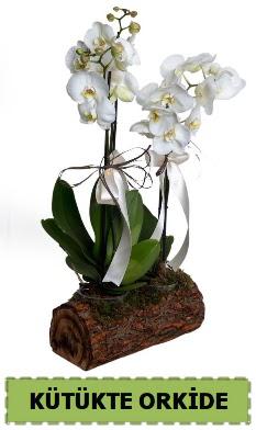 Kütük içerisinde 2 Adet tek dallı orkide  Ankara Anadolu anneler günü çiçek yolla