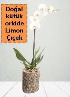 Doğal kütükte tek dallı beyaz orkide  Ankara Anadolu çiçekçi telefonları