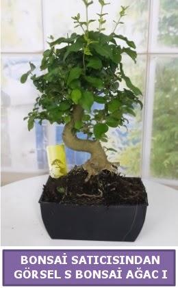 S dal eğriliği bonsai japon ağacı  Ankara Anadolu çiçek satışı