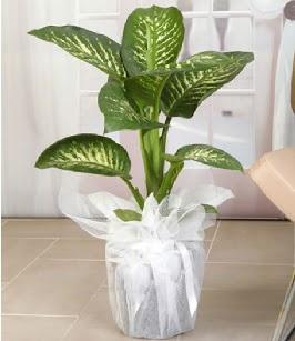 Tropik saksı çiçeği bitkisi  Ankara Anadolu çiçek satışı